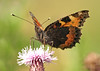 Small tortioseshell (Mr Grimesdale) Tags: butterfly smalltortoiseshell stevewallace britishbutterflies mrgrimesdale
