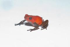 red Oophaga pumilio (brian.gratwicke) Tags: animalia anura amphibia dendrobatidae chordata vertebrata strawberrypoisondartfrog oophaga oophagapumilio taxonomy:class=amphibia taxonomy:order=anura taxonomy:kingdom=animalia taxonomy:phylum=chordata taxonomy:subphylum=vertebrata strawberrypoisonfrog taxonomy:common=strawberrypoisondartfrog taxonomy:binomial=oophagapumilio taxonomy:family=dendrobatidae taxonomy:species=pumilio taxonomy:genus=oophaga flamingpoisonfrog redandbluepoisonfrog taxonomy:common=strawberrypoisonfrog taxonomy:common=flamingpoisonfrog taxonomy:common=redandbluepoisonfrog
