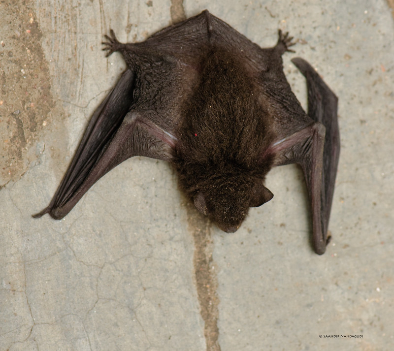 One of Dr. Lindy Lumsden's captive bats, George | Insectivorous ...