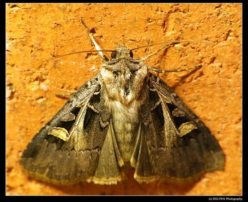 Dingy Cutworm Moth (Feltia jaculifera)