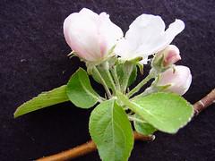 MM.106 EMLA Flower Cluster