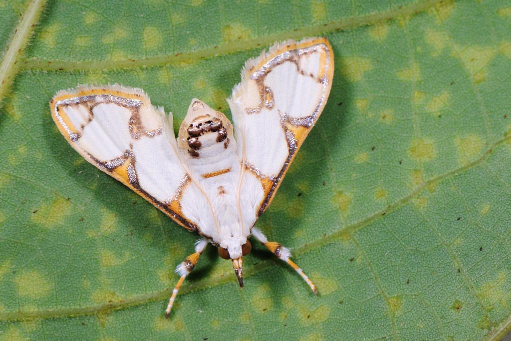 野螟蛾 Cirrhochrista bracteolalis