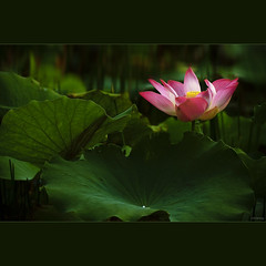 Beautiful Lotus (-clicking-) Tags: pink light flower macro green floral beautiful leaves closeup square leaf petals drops nice flora asia pretty dof lotus blossom bokeh details charm stamens vietnam squareformat bloom lovely charming lightandshadow blooming pistils lotuspond 500x500 lighitng hoasen thechallengefactory 100commentgroup butrng senhng vietnameseflowers