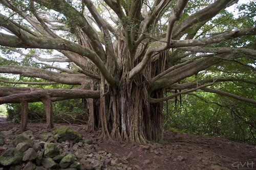 Banyan Tree on Pipiwai Trail