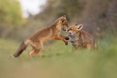 (caroline_1985) Tags: playing nature mammal cub play dunes young fox playfull cubs foxes duinen awd vos jonge vulpesvulpes preditor natuurgebied vossen roofdier duingebied amsterdamsewaterleidingduinen welpje welp specanimal welpjes roofdieren amazingwildlifephotography