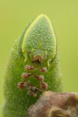 Pauwoogpijlstaart - Smerinthus ocellata (henk.wallays) Tags: ocellata smerinthus pauwoogpijlstaart 20110910