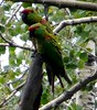 better pair (Daveed7) Tags: chihuahua bird mexico madera watching birding parrots eared thickbilled quetzals solipaso