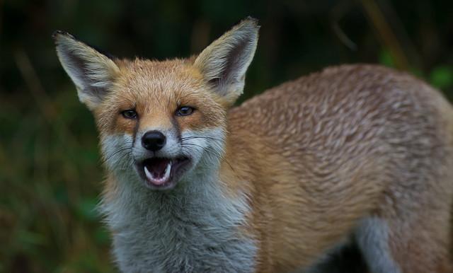 red fox_