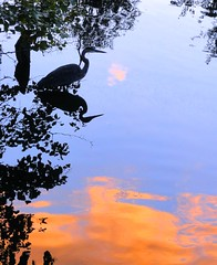 Heron at Evening (brooksbos) Tags: blue light summer sky orange color green heron nature water boston night reflections river geotagged ma photography gold evening photo shadows mr sony newengland cybershot fenway bostonma fens sonycybershot bostonist masschusetts 02115 lurvely thatsboston dschx5v hx5v brooksbos