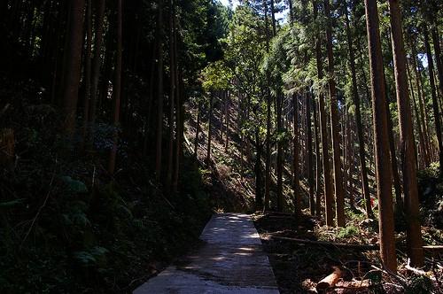 705老星谷の杉林