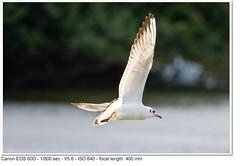 2011_08_27_1851 (John P Norton) Tags: bird fauna gull f56 bif birdinflight aperturepriority 1800sec ef400mmf56lusm focallength400mm canoneos60d copyright2011johnnorton