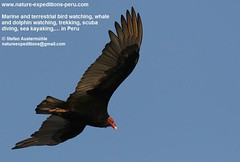 Turkey vulture Birding Peru (6) (Nature Expeditions 06) Tags: world new trip sea vacation bird peru nature port turkey island islands marine holidays tour birding stefan trips guide vulture aura guano colonies turkeyvulture cathartesaura cathartes expeditions pucusana cathartidae newworldvultures birdguide sealioncolonies natureexpeditions birdinginperu austermhle birdingperu vulturesofperu