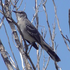 mockingbird on bare branches