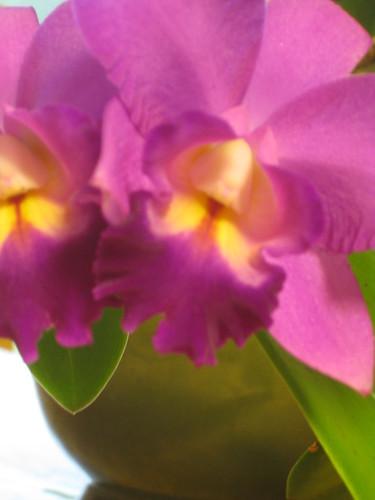 2011 08 09 cattleya orchid 003
