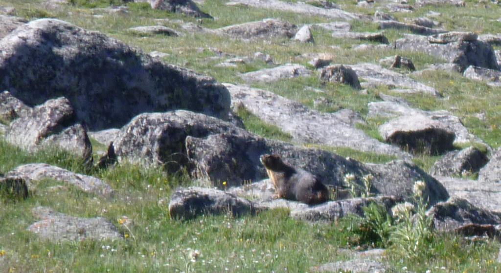 Yellow-Bellied Marmot in alpine tundra meadow of Rocky Mountain National Park, Colorado