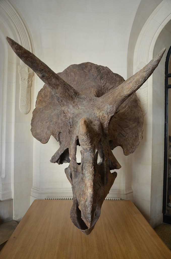 Tricératops - Vue de face