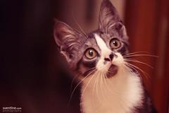 Isis (Sventine) Tags: cute female cat eyes kitten gato gata curious isis gatita gatito
