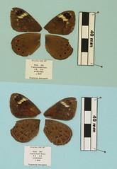 Torynesis haweques