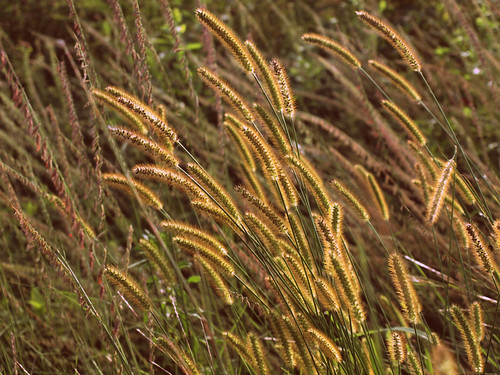 8.15.11wheat