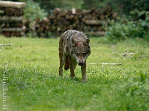 Visite des loups au parc Alpha 6036145216_7caf4c7152