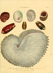 Anglų lietuvių žodynas. Žodis sea-ear reiškia jūros ausies lietuviškai.