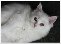 BBye Wado (Debbini) Tags: pet white animal cat canon eos persian kitten feline browneyes 500d crossbreed t1i