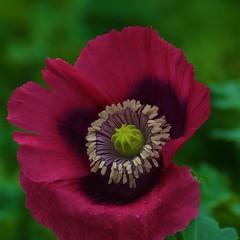 """_DSC3525 (ChanHawkins) Tags: flowers reddeer southalberta """"doublefantasy"""""""