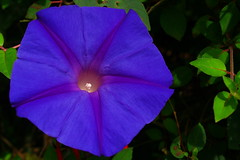 Blue Flower (Ipomoea)