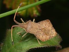 Syromastes rhombeus m (terraincognita96) Tags: germany oberhausen coreidae northrhinewestphalia nordheinwestfalen rhombeus syromates
