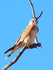 Kestrel at Ilparpa (cleardrops) Tags: gold wildlife kingfisher kestrel nankeen redbacked ilparpa