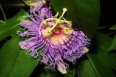 Passion Flower and Bumble Bees