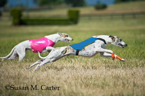 whippet lure coursing