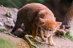 [フリー画像] 動物, 哺乳類, 狼・オオカミ, 201108291100