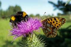 it's my turn! (salceson) Tags: summer flower macro feast butterfly thistle samsung poland august bumblebee ex1