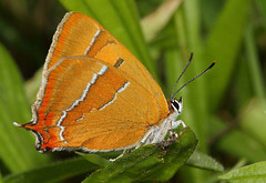 Brown Hairstreak  (Thecla betulae) Other Pictures Below. (Sandra Standbridge.) Tags: me butterfly insect butterflies gear and brownhairstreak my theclabetulae macromarvels wonderfulworldofmacro flickraward mygearandme