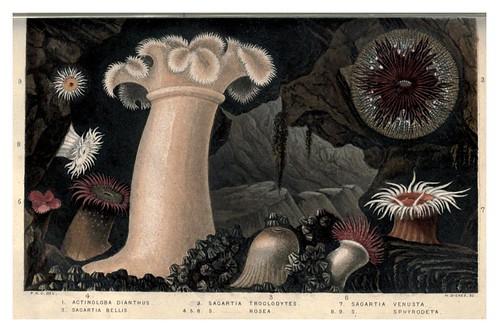 001-Actinologia Britannica… 1860- Philip Henry Gosse