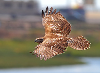 The Beautiful Red-tailed Hawk