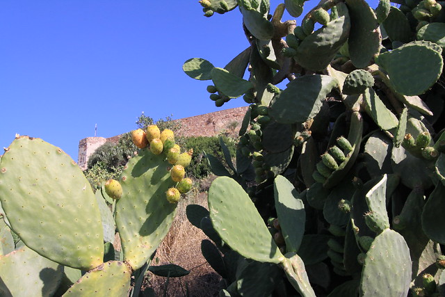 Prickly pear at the Castello Malaspina, Bosa.