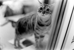 0042 (Marcin Sowa) Tags: camera bw white black eye film analog cat canon lens eos eyes focus dof open personal asahi pentax bokeh iso400 f14 14 grain wide poland leopard 400 m42 pan analogue manual ilford manualfocus eos1n wideopen shortdof 1n leopardcat