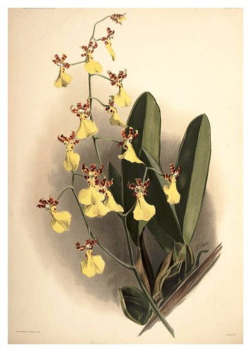 022-Oncidium Splendidum-Reichenbachia-Orchids illustrated and described..VolI I-1888-F.Sander