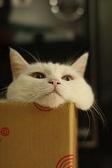 20110826_cat奶茶0028 (kenty_) Tags: cat kitty mimi while 貓 milktea 奶茶 noke 白貓