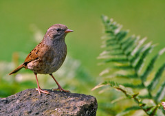 a young dunnock (GVG Imaging) Tags: mygearandme mygearandmepremium mygearandmebronze mygearandmesilver mygearandmegold mygearandmeplatinum mygearandmediamond gearandmebronze arleyworcestershirebirds dunnocknikond80sigma170500mm