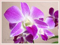 Close-up of our Dendrobium phalaenopsis 'Sonia'