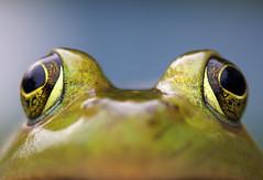 [フリー画像] 動物, 両生類, カエル, 201109080500