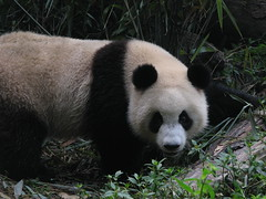 Chengdu, China (Marc_P98) Tags: china animal giant panda research breeding chengdu species endangered sichuan rare base