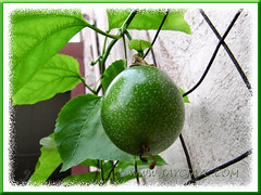Our Passiflora edulis (Purple Passionfruit/granadilla) is fruiting for the first time, Aug 28 2011