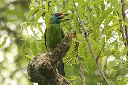 Blue-throatedBarbet