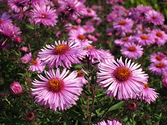 Michaki, marcinki, astry  - zwiastuny jesieni (ela_s) Tags: canon explore kwiaty s90 jesie astry michaki