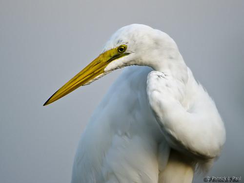 White Egrets.