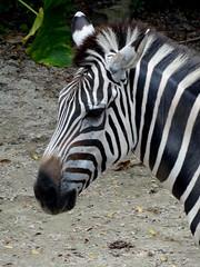 Zebra; Singapore Zoo